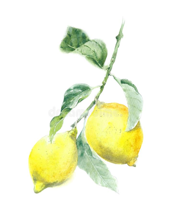 Lemon tree lemons on the branch with leaves watercolor painting illustration isolated on white background. Lemon tree lemons on the branch with leaves watercolor royalty free illustration
