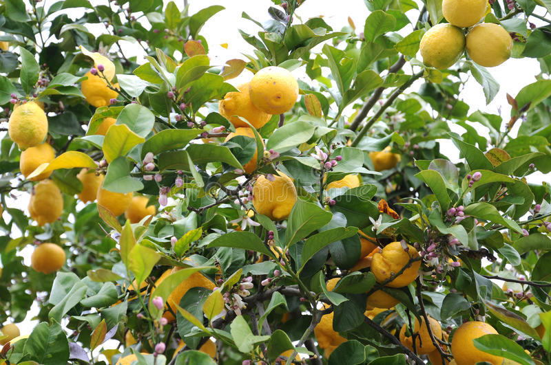 Lemon tree. With ripe fruit and rose blooms in Portugal royalty free stock images