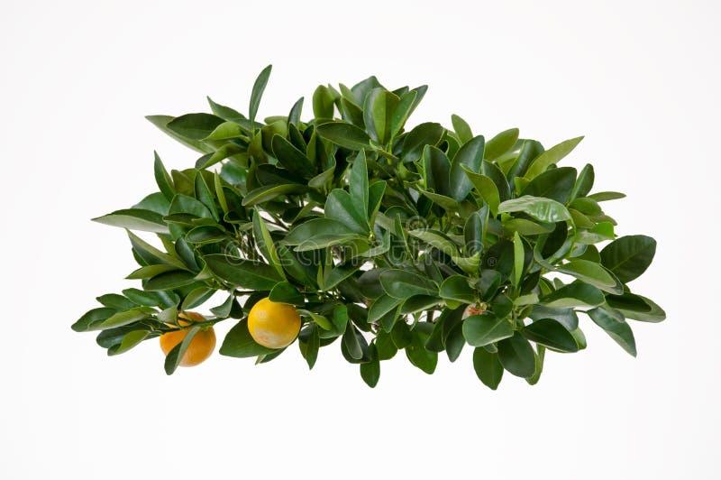 Lemon tree-top. Isolated on the white background stock photos