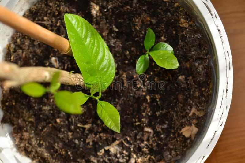 Lemon tree. Young five years old lemon tree and the smaller one royalty free stock photography