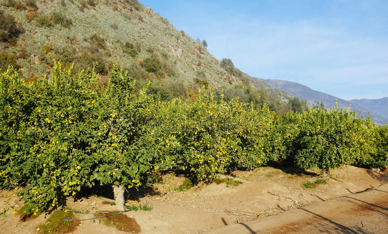 Lemon trees stock image
