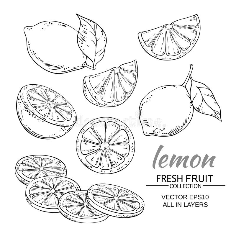 Lemon vector set. Lemon fruits vector set on white background royalty free illustration