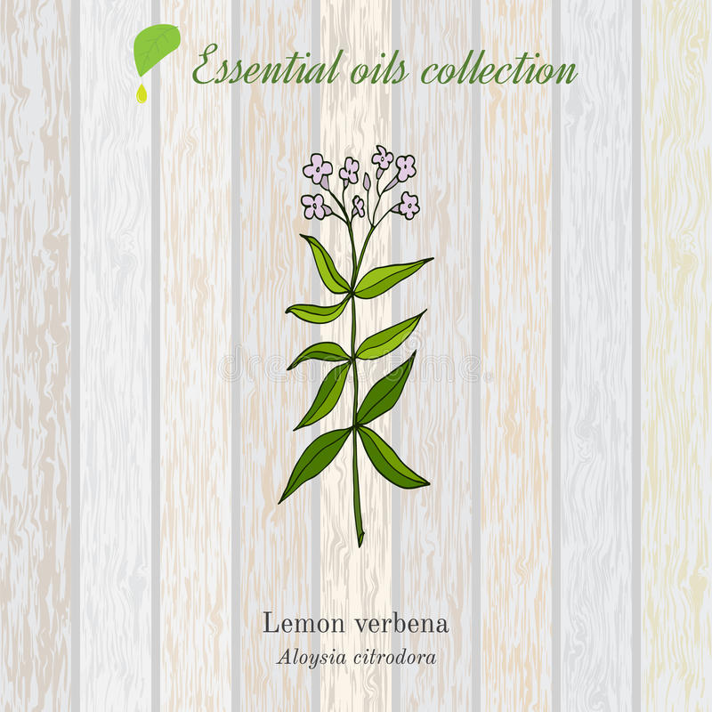 Lemon verbena, essential oil label, aromatic plant. Vector illustration stock illustration