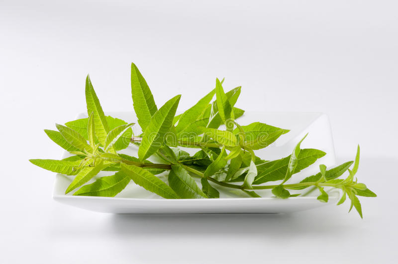 Lemon verbena leaves stock photography