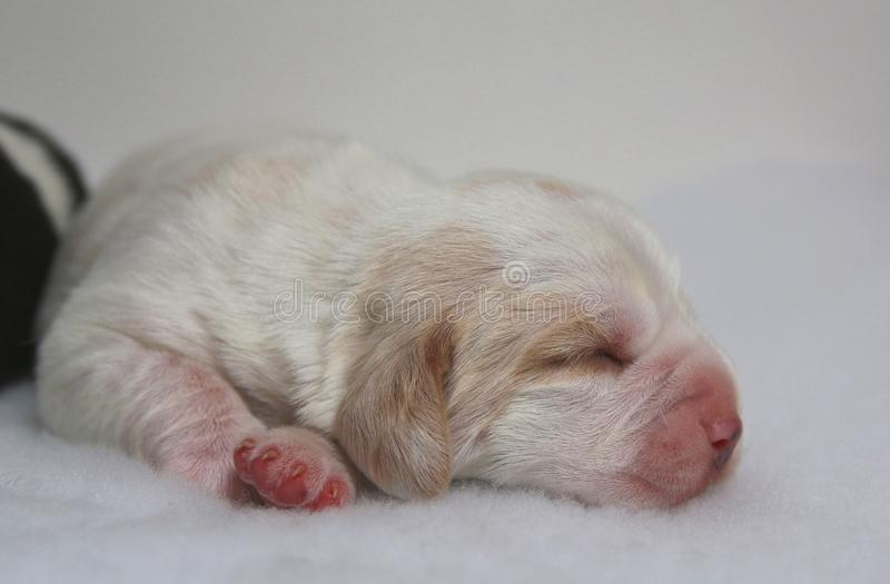 Lemon and White coloured Beagle puppy dog at one week old stock photos
