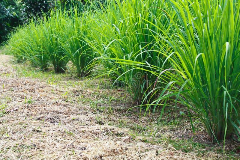 Lemongrass clump stock photography