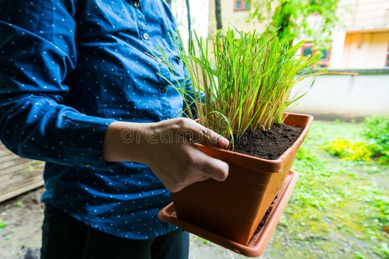 Lemongrass in flowerpot royalty free stock image