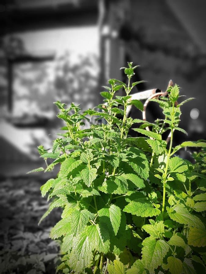 Lemongrass från trädgården arkivbild
