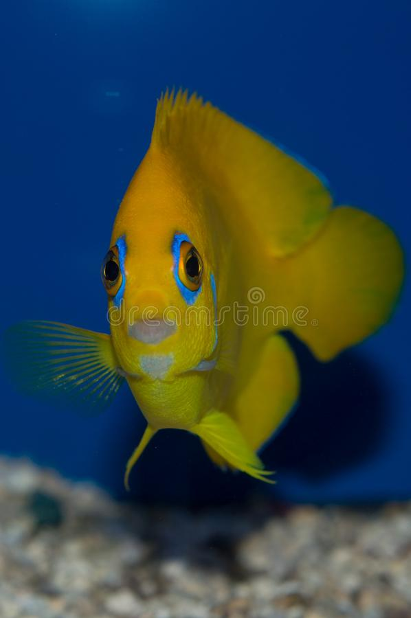 Lemonpeel angelfish. Head on view of a Centropyge flavissima. The Lemonpeel Angelfish is a cheery yellow with sky-blue highlights on the lips, encircling the royalty free stock photography