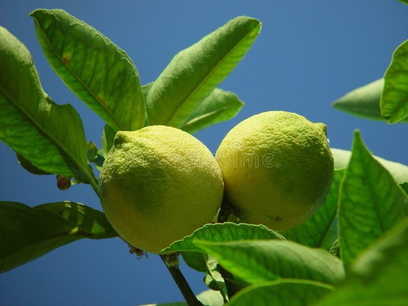 Download Lemons stock photo. Image of fresh, juicy, lemon, growing - 15438