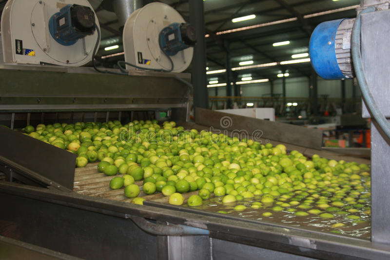 Lemons. Are going trough the processing line stock photography