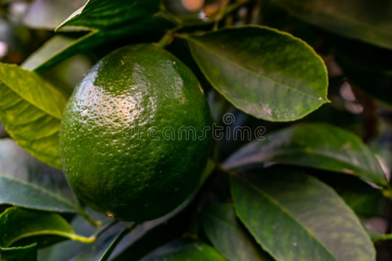 Lemons grow on a branch in a garden close up. Close up green color organic lemon citrus fruit on tree royalty free stock photography