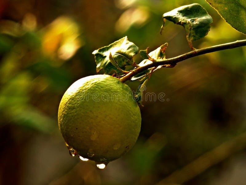lemons lime royaltyfri foto