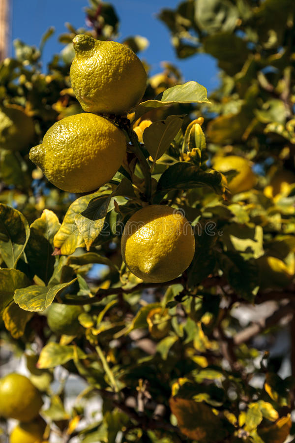 Lemons ripen on a lemon tree royalty free stock photo