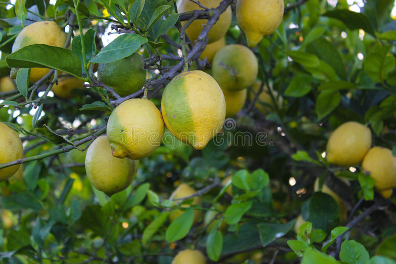 Download Lemons ripening stock photo. Image of ripe, plump, juicy - 25852824