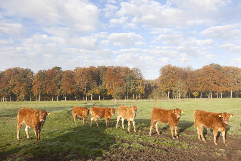 Lemosín pare en prado antes de bosque del otoño en niebla de la mañana fotografía de archivo