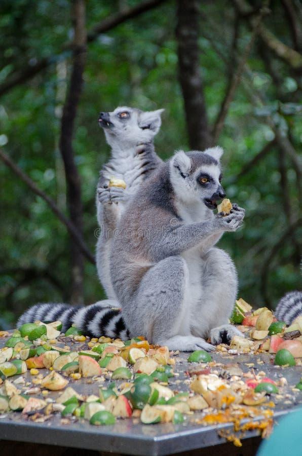 Lemurów Jeść zdjęcia royalty free
