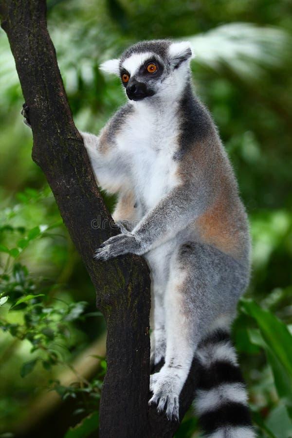 Lemur à un arbre photos stock