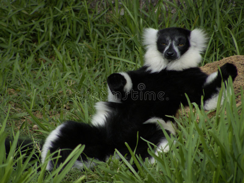 lemur будуара стоковая фотография
