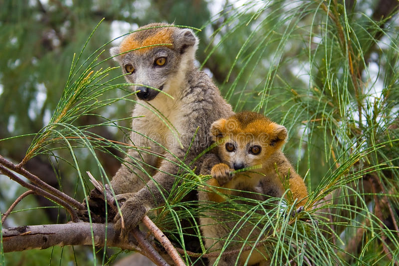 lemur Мадагаскар coronatus стоковое фото