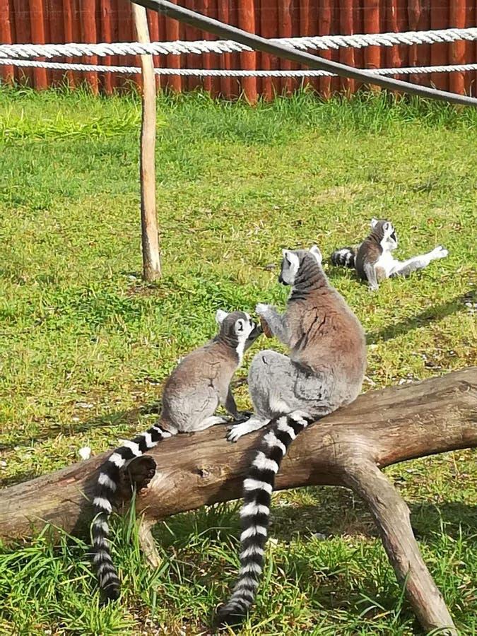 lemur images libres de droits