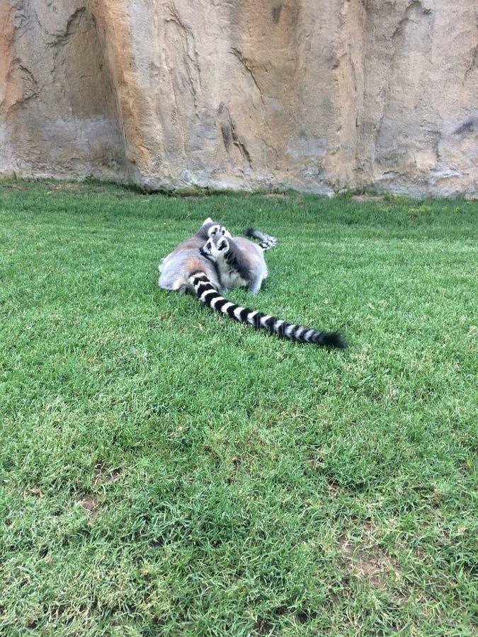 lemur immagini stock