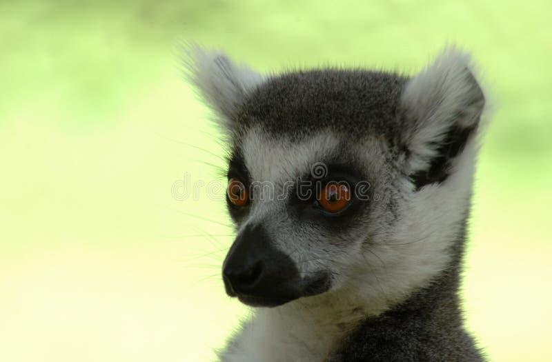 lemur стоковые изображения