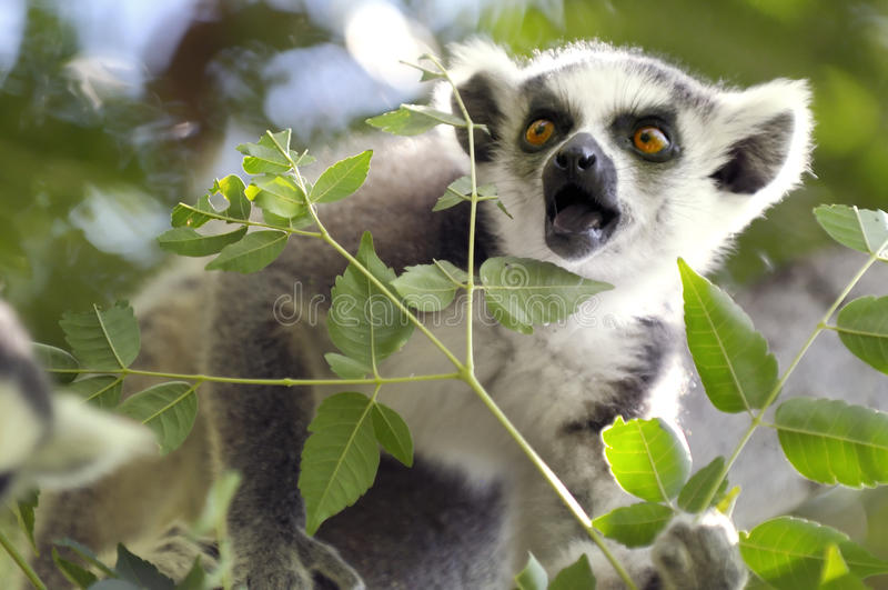 lemur arkivbild