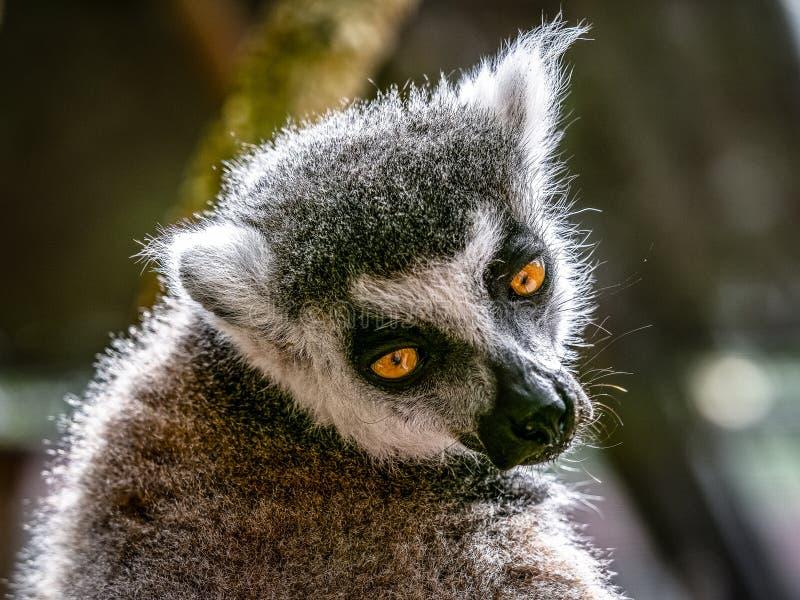 lemur fotos de stock royalty free