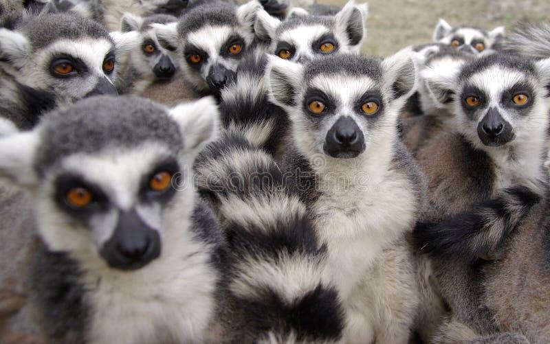 lemur royaltyfria bilder