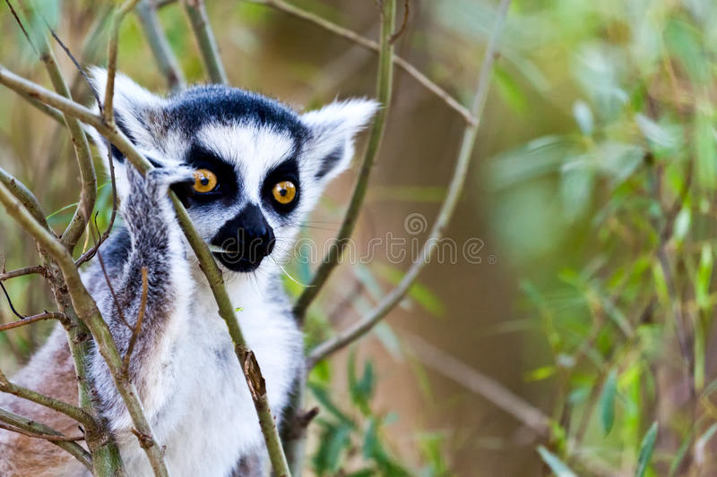 Download Lemur stock image. Image of natural, animal, leaf, close - 20316461