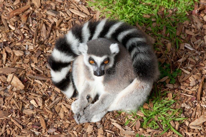 lemur стоковые изображения rf