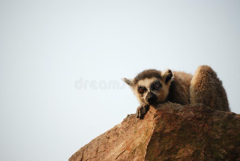 lemur стоковое фото rf