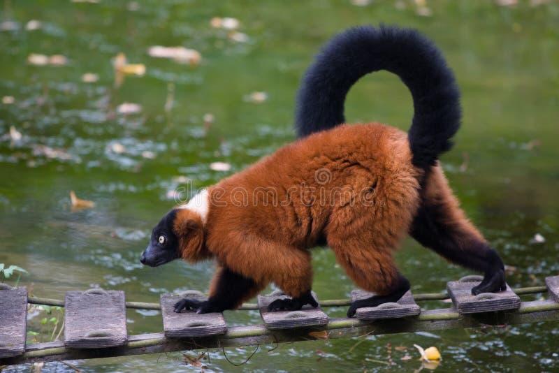 Lemur стоковые фото