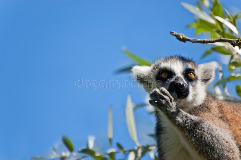 Download Lemur zdjęcie stock. Obraz złożonej z przegląd, znakomity - 25894640