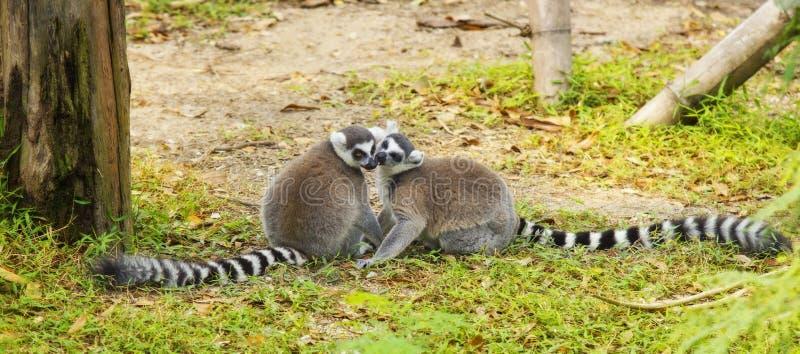 Lemur arkivfoto