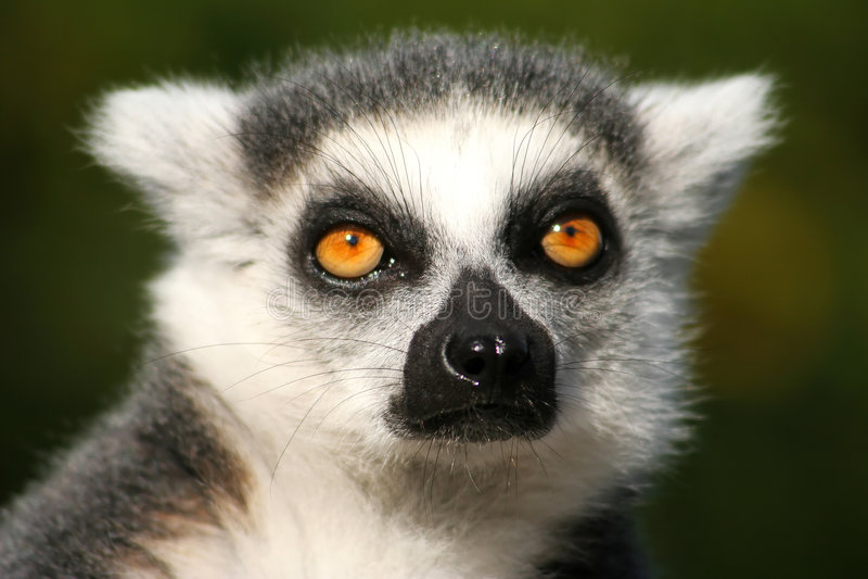 Lemur images stock