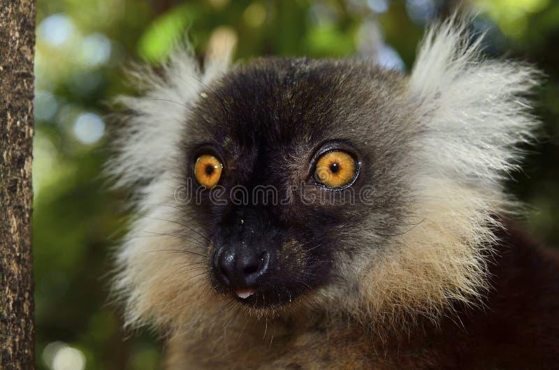lemur imágenes de archivo libres de regalías