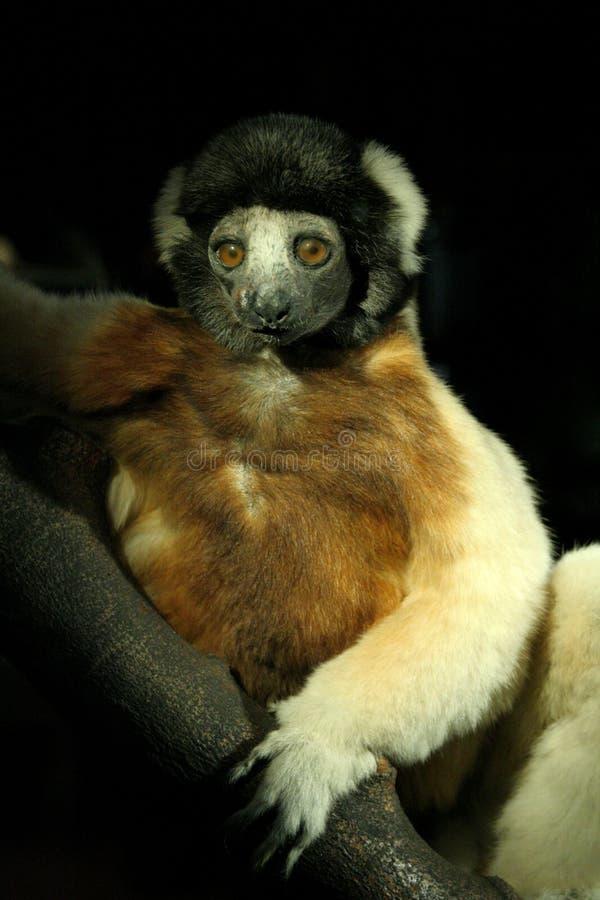 lemur arkivfoton