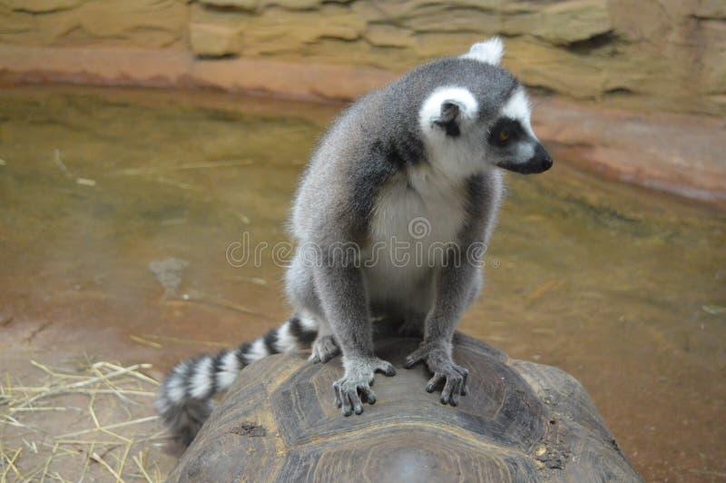 lemur stock fotografie
