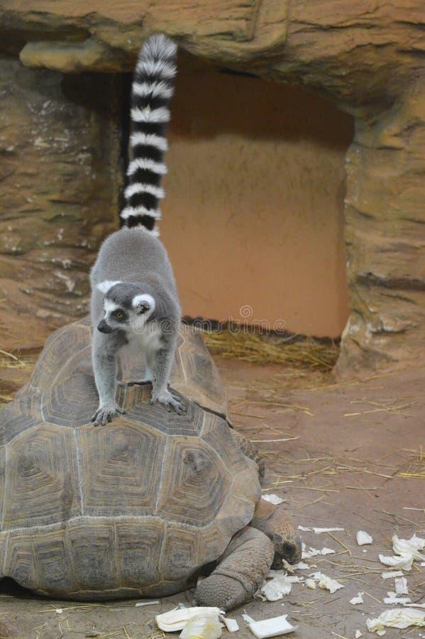 lemur royalty-vrije stock afbeeldingen