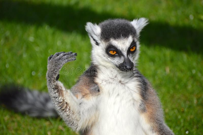 lemur fotos de archivo