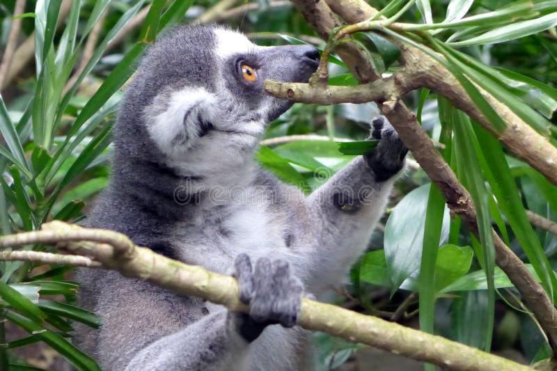 lemur immagini stock libere da diritti