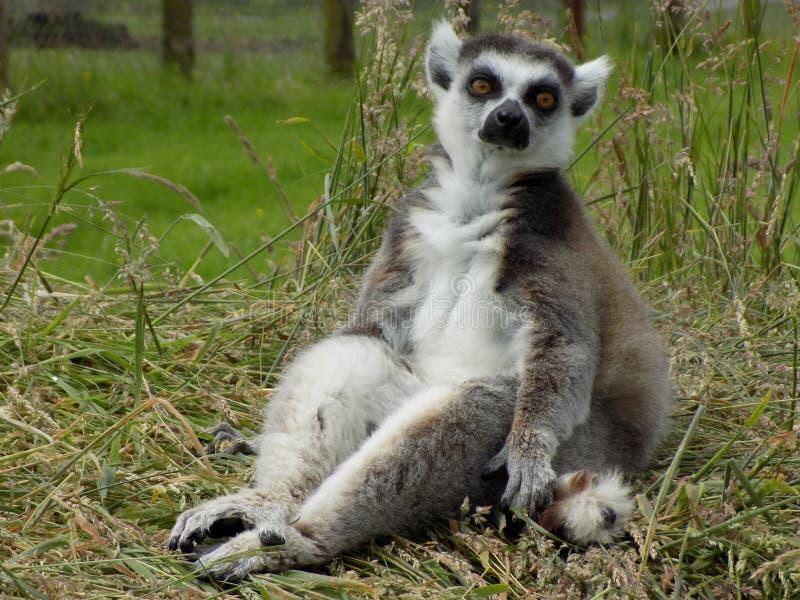lemur photo stock