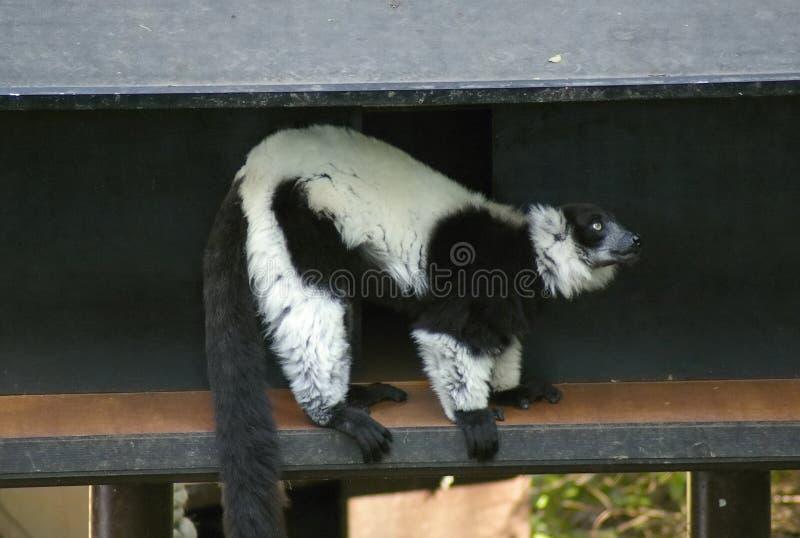 lemur fotos de archivo libres de regalías