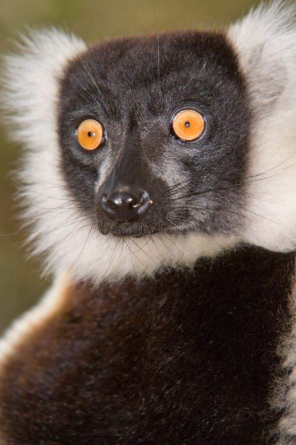 Lemur. Black and White Ruffed Lemur in Madagascar stock photos