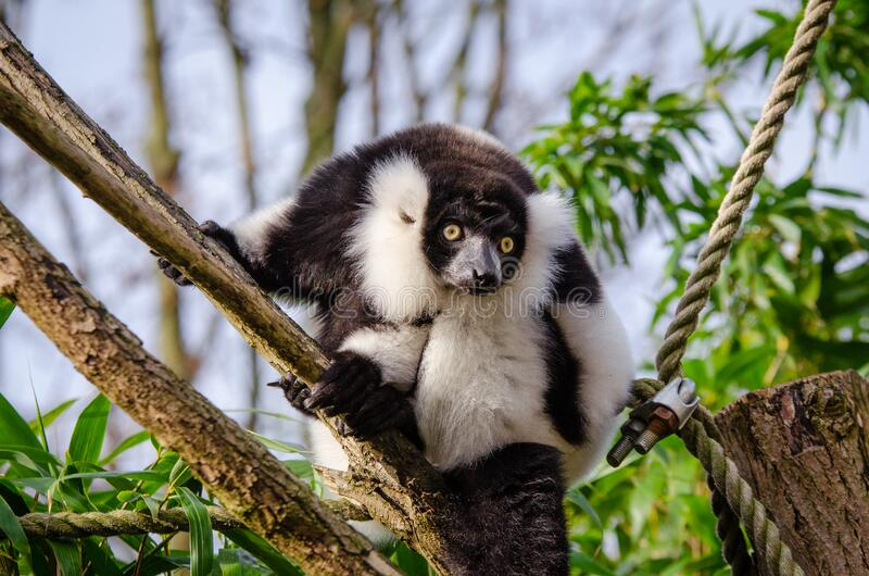 Lemur Free Public Domain Cc0 Image