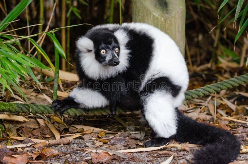 Lemur Kostenlose Öffentliche Domain Cc0 Bild