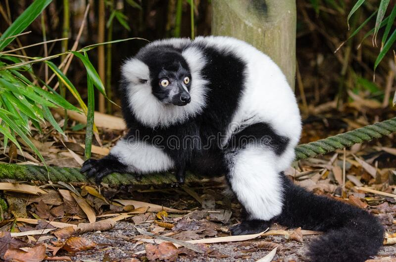Lemur Gratis Allmän Egendom Cc0 Bild