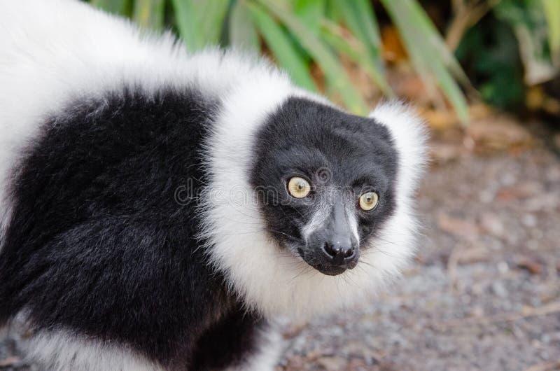 Lemur Dominio Público Y Gratuito Cc0 Imagen